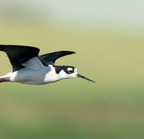 _dsc0302[521][2048] (black-necked stilt)